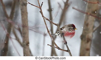 Common Redpoll, Acanthis flammea in Algonquin, Canada
