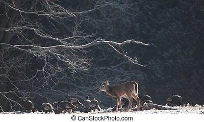 Wild Turkey feeding - White-tailed Deer and Wild Turkey...