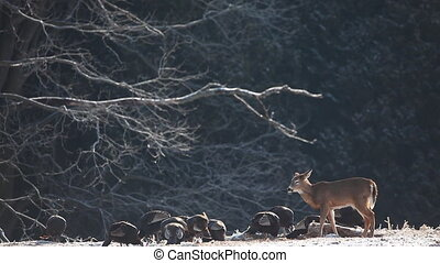 Deer and Wild Turkey feeding - White-tailed Deer and Wild...