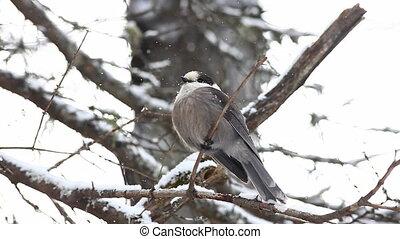 Gray Jay puffs his feathers - Gray Jay, Perisoreus...