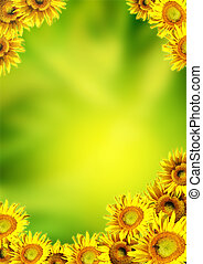 Sunflowers - Yellow sunflowers on background of green color