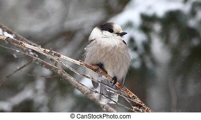Gray Jay in Algonquin - Gray Jay, Perisoreus canadensis,...
