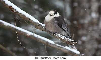 Gray Jay, Perisoreus canadensis, in a blizzard in Algonquin...