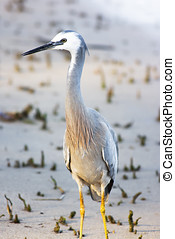 White Faced Heron (Ardea novaehollandiae) Standing At A...