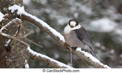 Gray Jay, Perisoreus canadensis, in falling snow in...