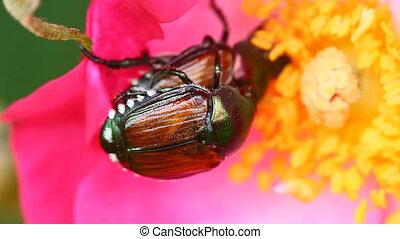 Japanese Beetles, Popillia japonica - Pair of Japanese...