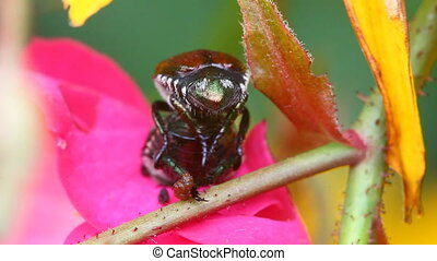 Pair of Japanese Beetles, Popillia japonica, on a Rugosa...
