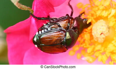 Japanese Beetles on a rose - Japanese Beetles, Popillia...