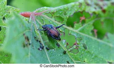 Japanese Beetle on a leaf - Japanese Beetle, Popillia...