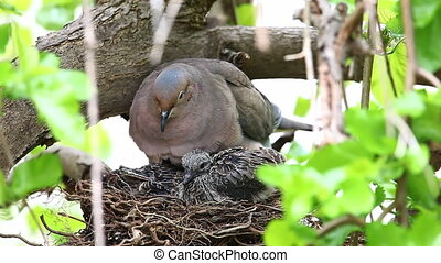 Nesting Mourning Dove, Zenaida macroura, with young