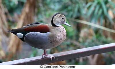 Ringed Teal, Allonetta leucophrys close up