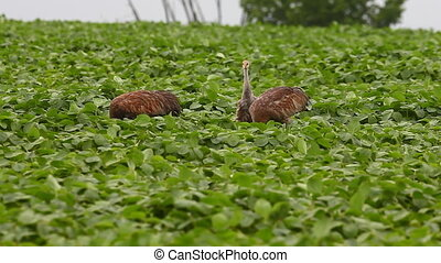 Sandhill Cranes with juvenile bird - Sandhill Cranes with a...