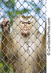 Monkey Behind Bars - A Monkey Looks Down While Being Locked...
