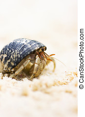 Harry Hermit Crab Taking A Leisurely Stroll On The...