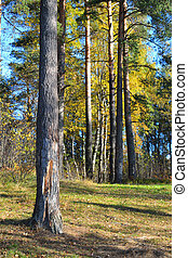 Forest at autumn. - Forest at autumn in Karelian Isthmus,...