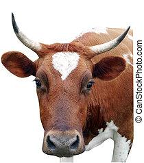 ayrshire, vaca