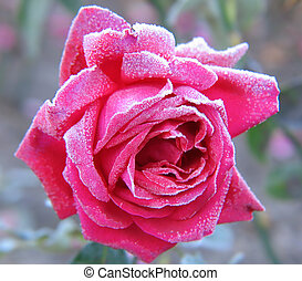Rose under hoar-frost - Red Rose under hoar-frost