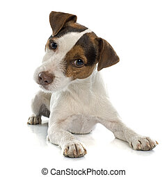 jack russel terrier in front of white background