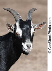 Black Goat Portrait - Black and white goat with horns and...