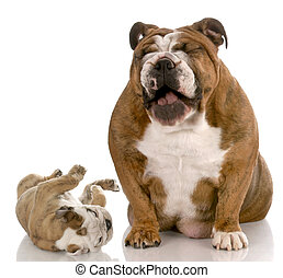 funny puppy misbehaving - english bulldog adult dog laughing...