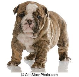 four week old puppy - four week old brindle english bulldog...