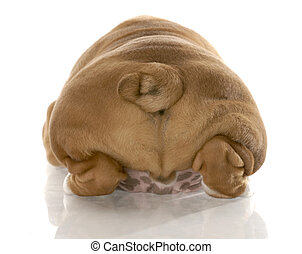 puppy buttocks - english bulldog puppy from the rear end...