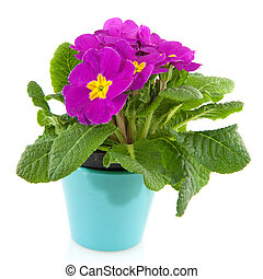 Purple Primula in blue flower pot isolated over white