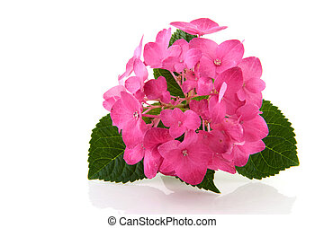 Pink Hydrangea flower isolated over white background