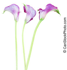 three Calla lilly - three violet Calla lilly flowers...