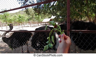 Feeding the ostriches - POV Feeding the ostriches in Park