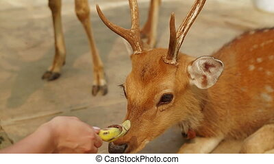 Girl feeding the deers banana from hand. Zoo