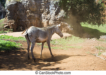 zebra in dusty ground - a zebra in dusty ground on a hot day