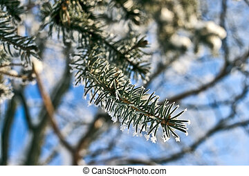 Fir tree branch with crystals of snow