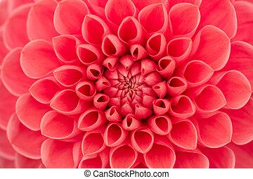 Dahlia - Close-up of a single dahlia bloom