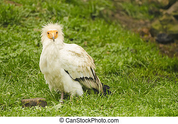 Common vulture, neophron percnopterus standing on the green...