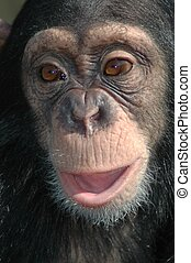 Young chimpanzee Pan troglodytes - Portrait of a young...