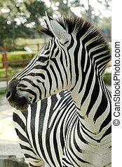 Grant zebra (Equus quagga boehmi) - A male zebra in a zoo.