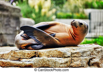 Cute playful California sea lions (Zalophus californianus)...