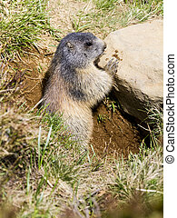 marmot sitting at the entrance to its burrow.