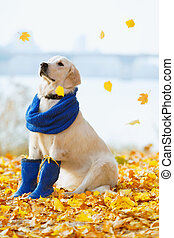 Autumn portrait of golden retriever junior wearing scarf and...