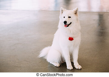 Happy White Samoyed Bjelkier Dog Sitting On Floor - Funny...