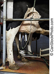 milking process - Close up of cow during automatic milking...