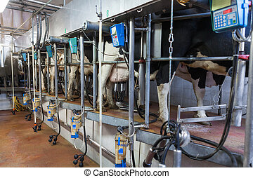 milking process - cows during automatic milking process