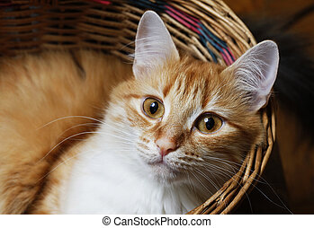 Red cat in basket close up