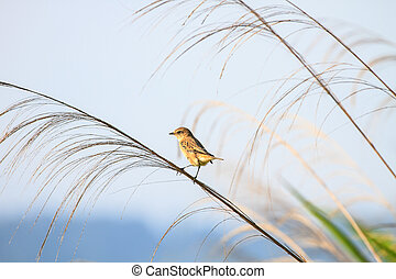Stonechat female in nature - Stonechat female perched on...