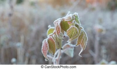 Frost on Leaves - Frost on plant leaves