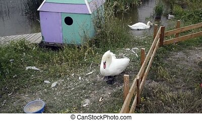 Swan on farm - White swan on a farm A bird walks at a...