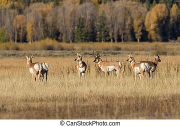Pronghorn Antelope Herd in Rut - a rutting herd of pronghorn...