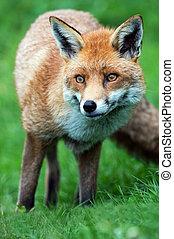 Red Fox (Vulpes Vulpes) - Red Fox in long green grass