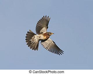 Fieldfare turdus pilaris - Fieldfare in flight with blue...